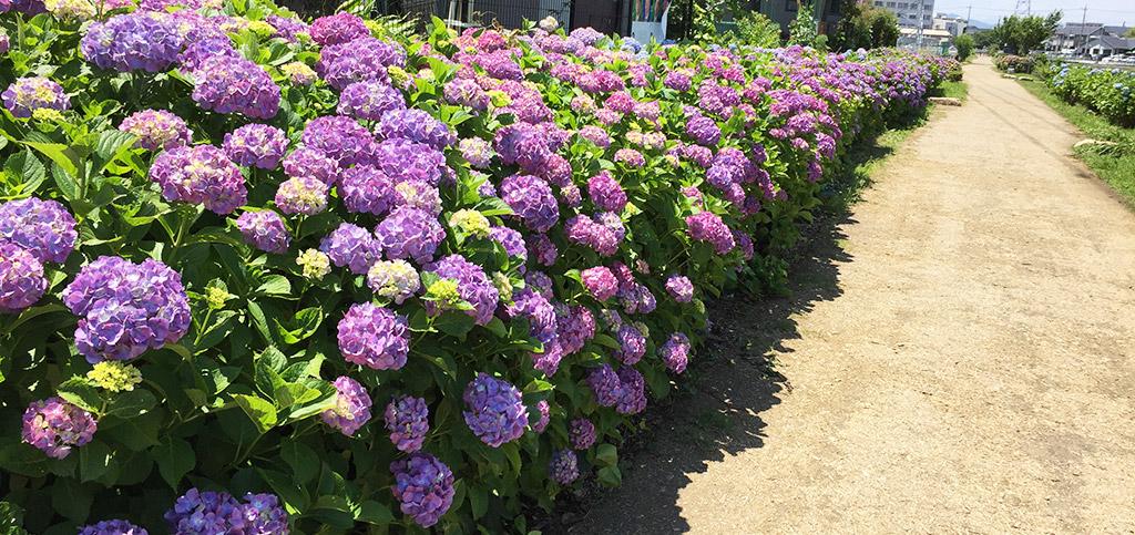 紫陽花・横須賀水道道