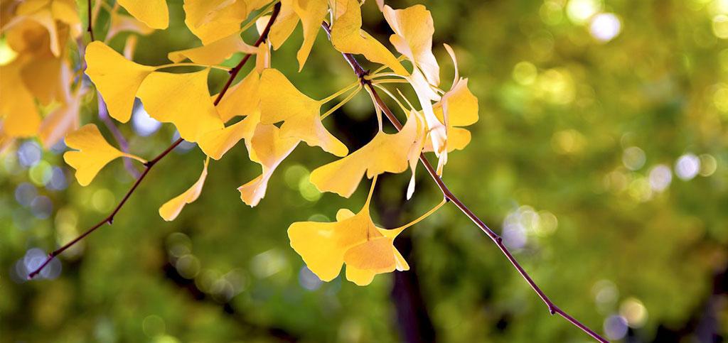 黄色い銀杏の葉