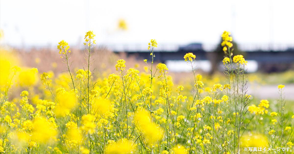 春の訪れ 菜の花