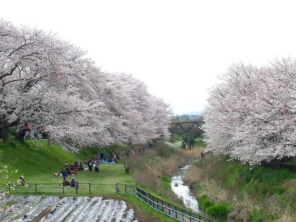 神奈川県立相模三川公園 桜の名所