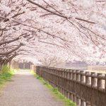 海老名の桜の名所・お花見スポット!