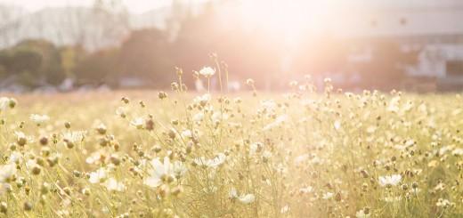 オレンジ色の夕陽と白いコスモスの花