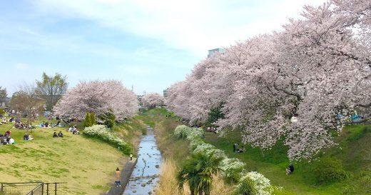 海老名のお花見 桜の名所 神奈川県立相模三川公園