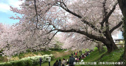 県立相模三川公園(昨年2016年の様子)