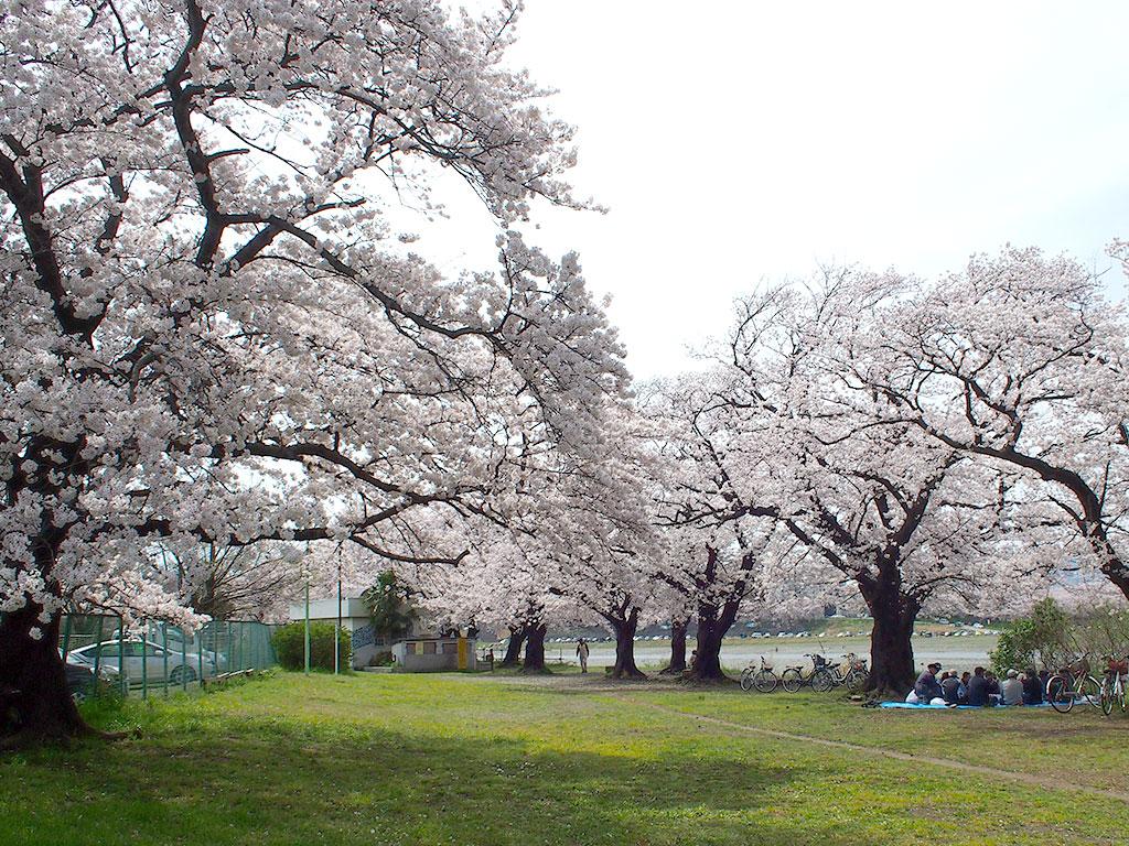 河畔公園 花の名所 景勝地