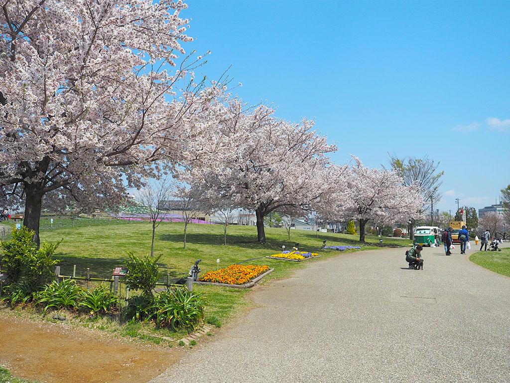 神奈川県立相模三川公園 三本の桜