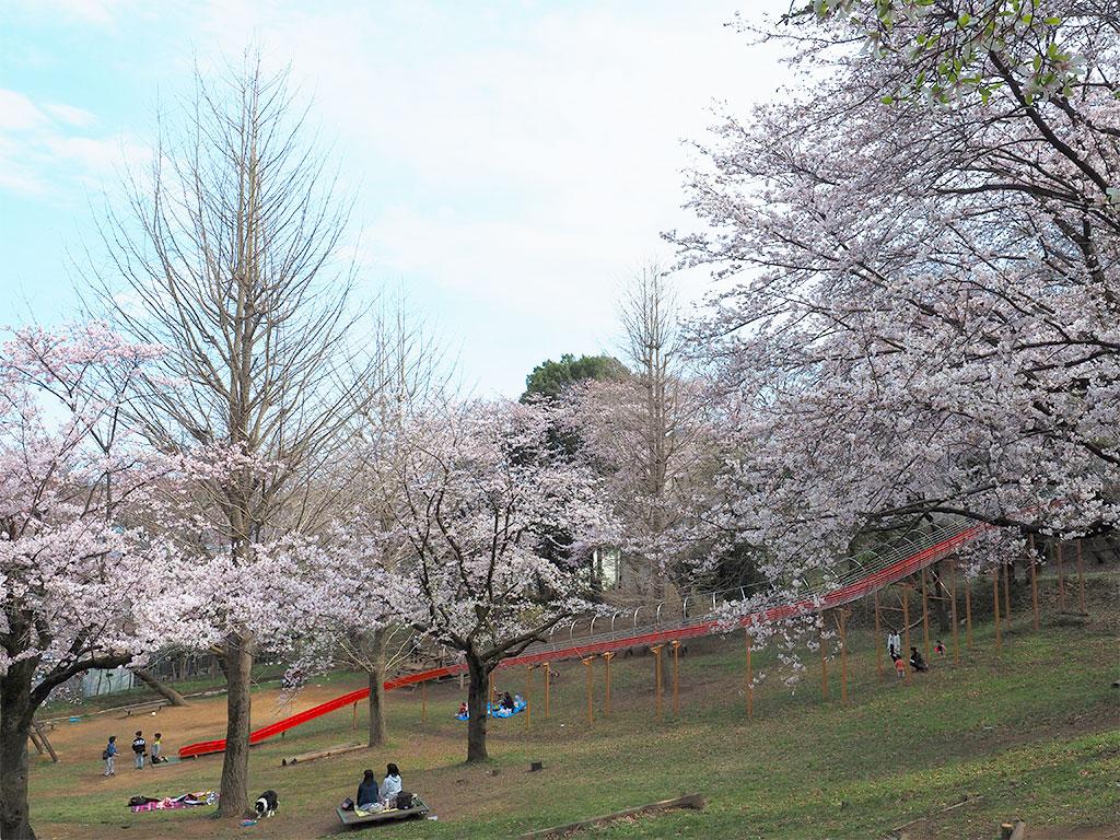 清水寺公園 桜のお花見スポット