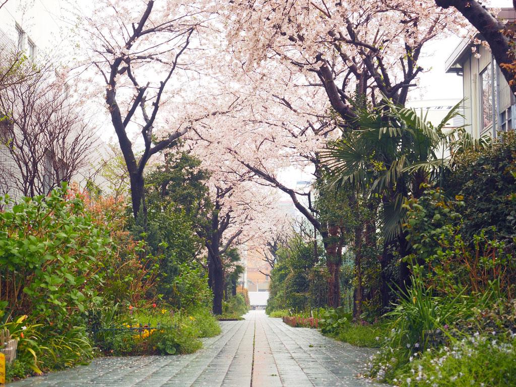 えびな花の小径 桜並木