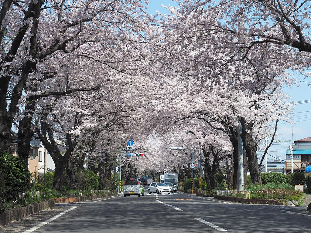 国分寺台緑道・綾西緑地 お花見スポット
