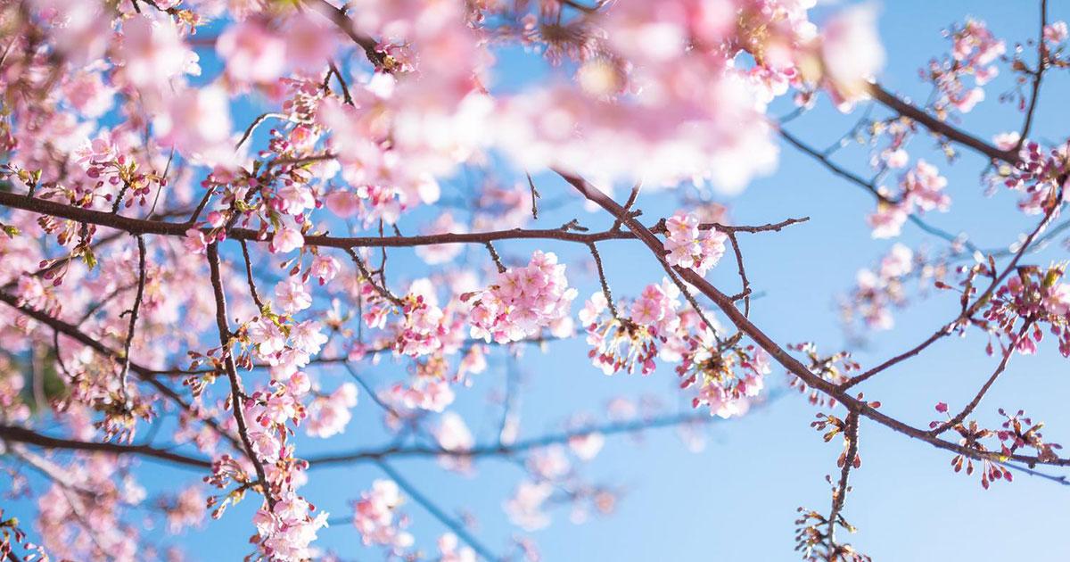 桜 桜祭り さくらまつり