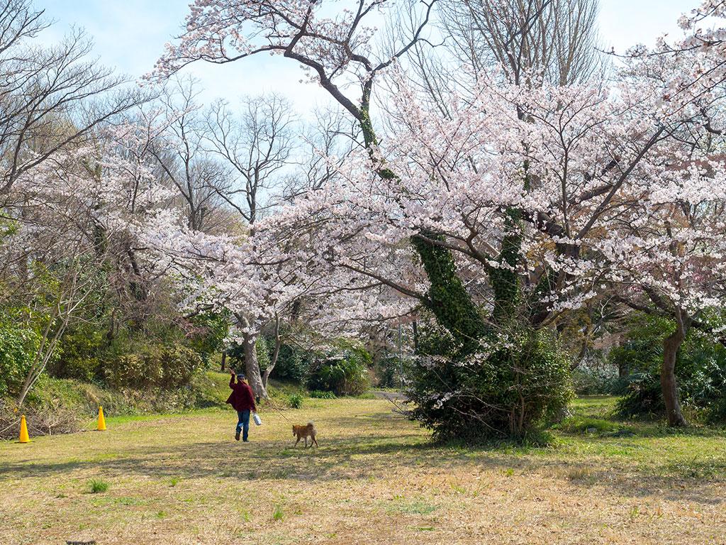 秋葉山古墳群の桜