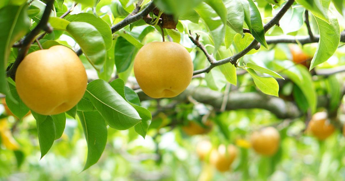 海老名で掘り取り・もぎ取り体験!近くの座間・厚木・藤沢の果物狩りスポットも紹介!実りの秋を楽しもう♪