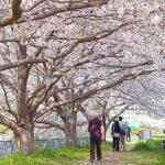 海老名の桜の名所・お花見スポット!2020年の開花予想&見頃は?