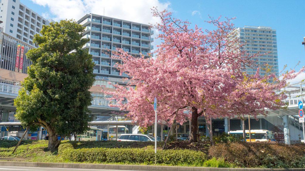 駅前ロータリーの河津桜