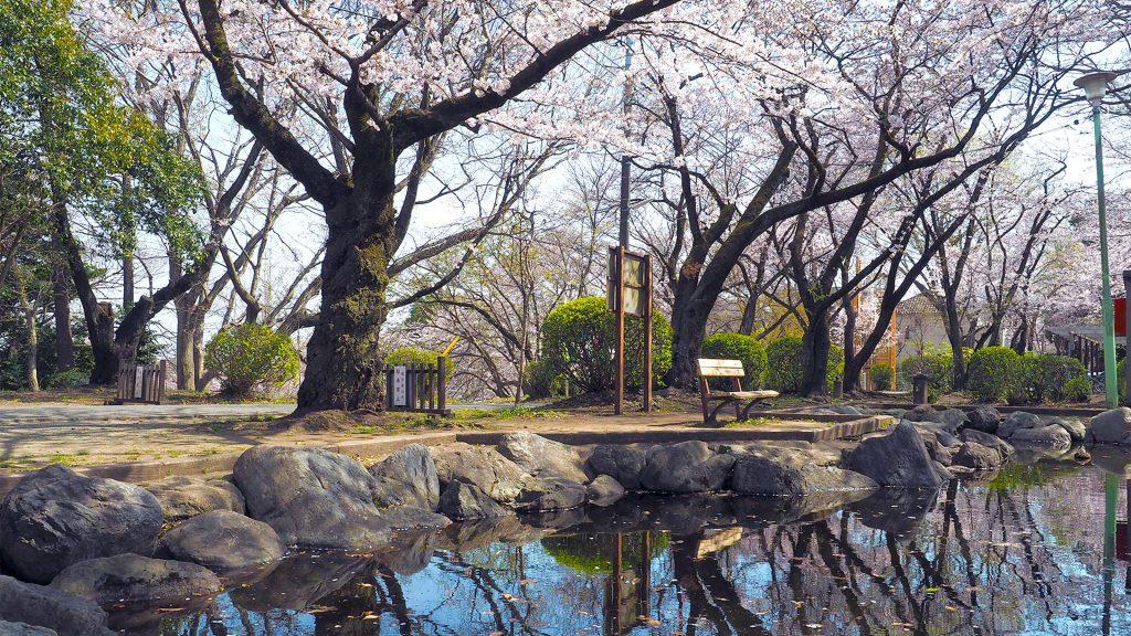 清水寺公園の桜