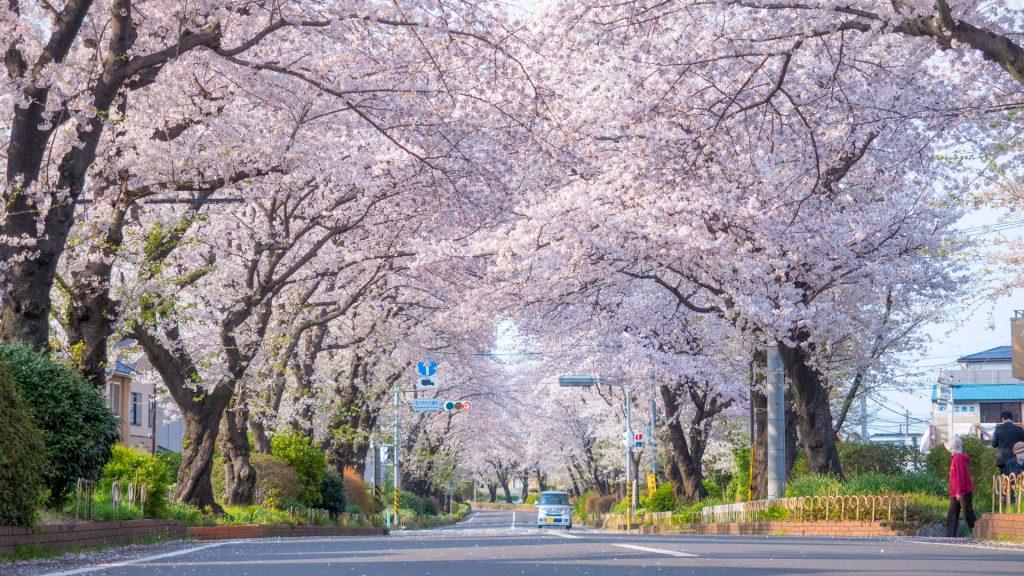 国分寺台緑道の桜