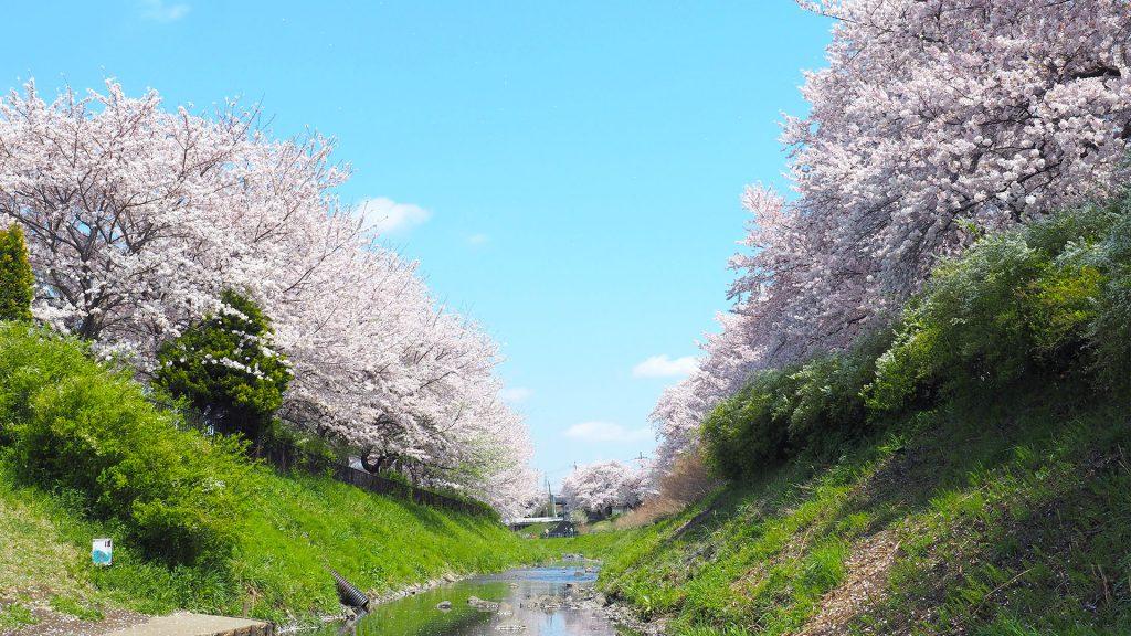 県立相模三川公園の桜